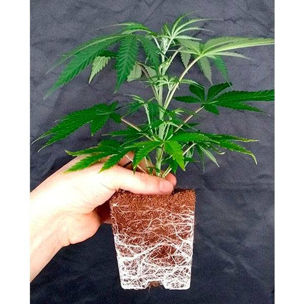 Trasplantando esqueje de Cannabis